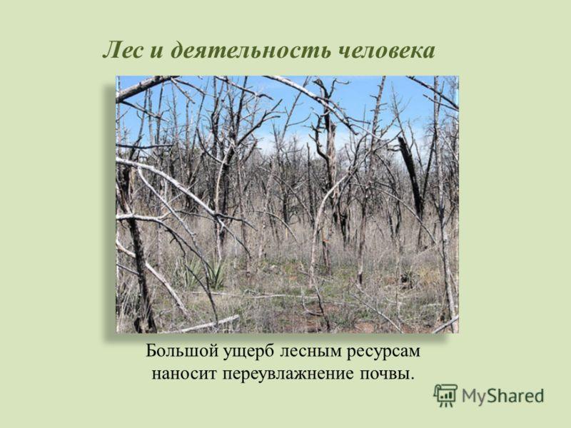 Лес и деятельность человека Большой ущерб лесным ресурсам наносит переувлажнение почвы.