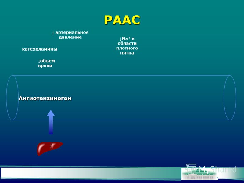 РААС Ангиотензиноген катехоламины артериальное давление объем крови Na + в области плотного пятна