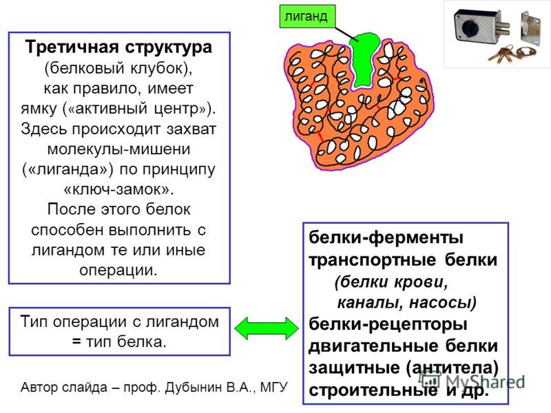 Третичная структура (белковый клубок), как правило, имеет ямку ( « активный центр » ). Здесь происходит захват молекулы-мишени («лиганда») по принципу «ключ-замок». После этого белок способен выполнить с лигандом те или иные операции. белки-ферменты