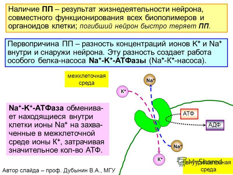 23 Наличие ПП – результат жизнедеятельности нейрона, совместного функционирования всех биополимеров и органоидов клетки; погибший нейрон быстро теряет ПП. Первопричина ПП – разность концентраций ионов K + и Na + внутри и снаружи нейрона. Эту разность