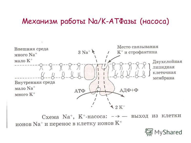 Механизм работы Na/K-АТФазы (насоса)