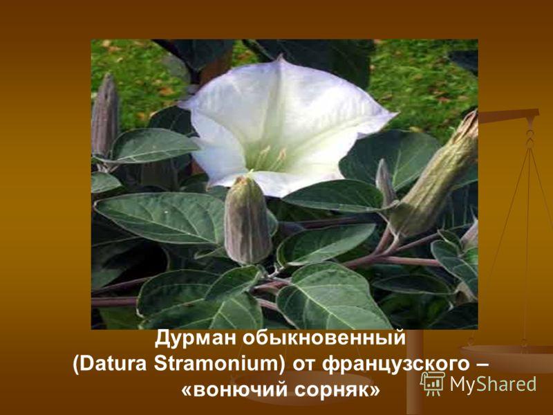 Дурман обыкновенный (Datura Stramonium) от французского – «вонючий сорняк»