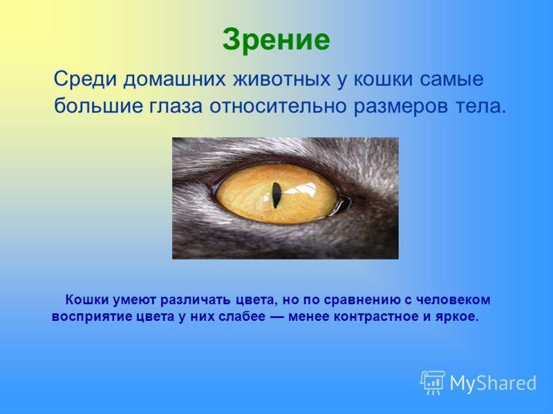 Зрение Среди домашних животных у кошки самые большие глаза относительно размеров тела. Кошки умеют различать цвета, но по сравнению с человеком восприятие цвета у них слабее менее контрастное и яркое.