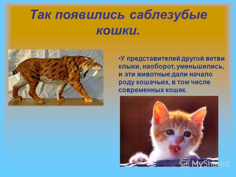 Так появились саблезубые кошки. У представителей другой ветви клыки, наоборот, уменьшились, и эти животные дали начало роду кошачьих, в том числе современных кошек.
