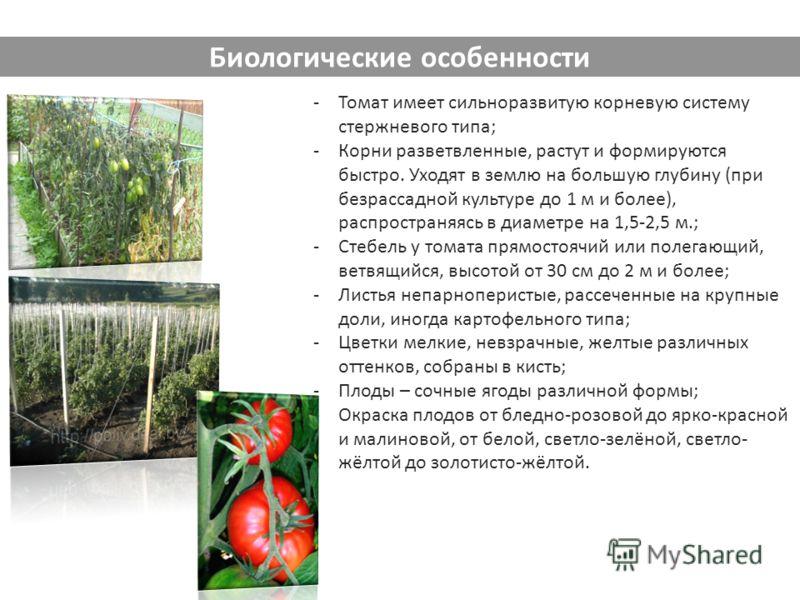 -Томат имеет сильноразвитую корневую систему стержневого типа; -Корни разветвленные, растут и формируются быстро. Уходят в землю на большую глубину (при безрассадной культуре до 1 м и более), распространяясь в диаметре на 1,5-2,5 м.; -Стебель у томат