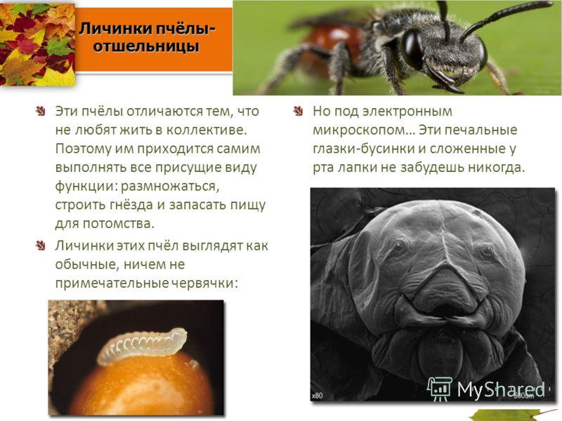 Личинки пчёлы- отшельницы Личинки пчёлы- отшельницы Эти пчёлы отличаются тем, что не любят жить в коллективе. Поэтому им приходится самим выполнять все присущие виду функции: размножаться, строить гнёзда и запасать пищу для потомства. Личинки этих пч