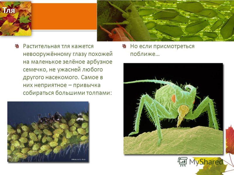 Тля Растительная тля кажется невооружённому глазу похожей на маленькое зелёное арбузное семечко, не ужасней любого другого насекомого. Самое в них неприятное – привычка собираться большими толпами: Но если присмотреться поближе…
