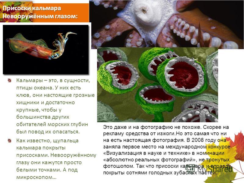 Присоски кальмара Невооружённым глазом: Кальмары – это, в сущности, птицы океана. У них есть клюв, они настоящие грозные хищники и достаточно крупные, чтобы у большинства других обитателей морских глубин был повод их опасаться. Как известно, щупальца
