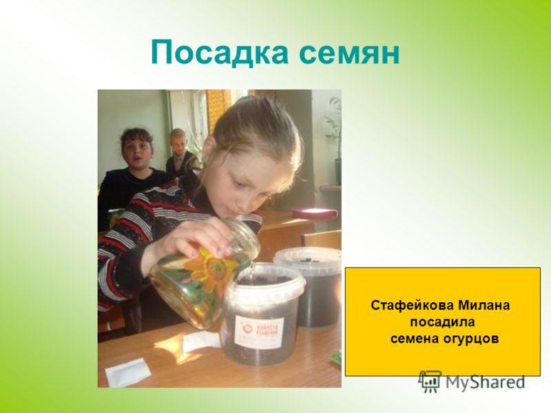 Посадка семян Стафейкова Милана посадила семена огурцов