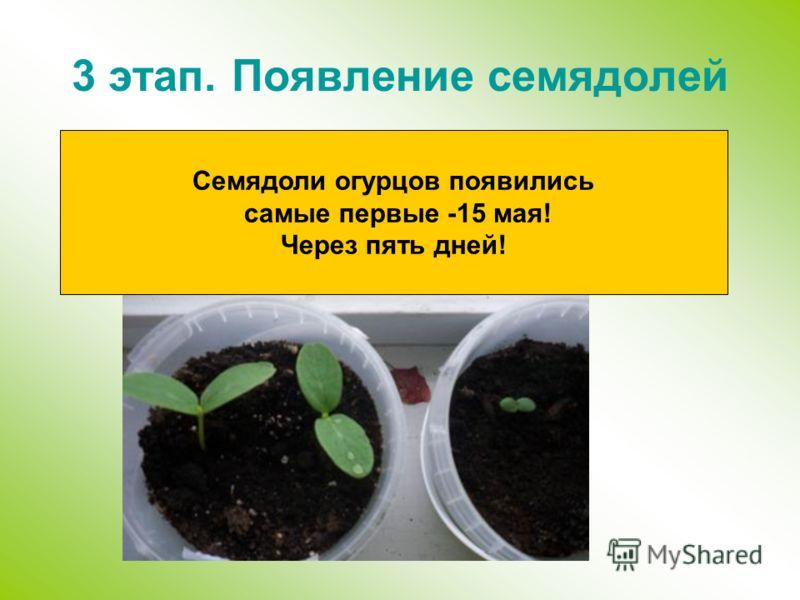 3 этап. Появление семядолей Семядоли огурцов появились самые первые -15 мая! Через пять дней!