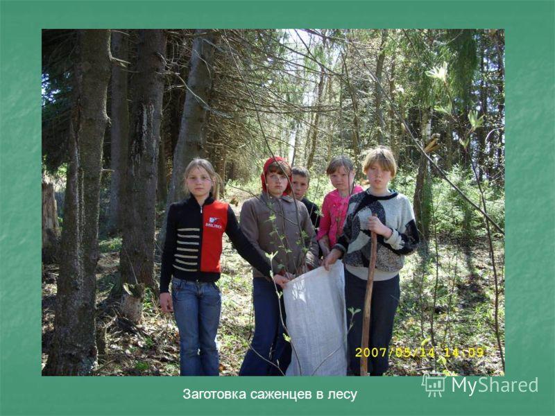 Заготовка саженцев в лесу