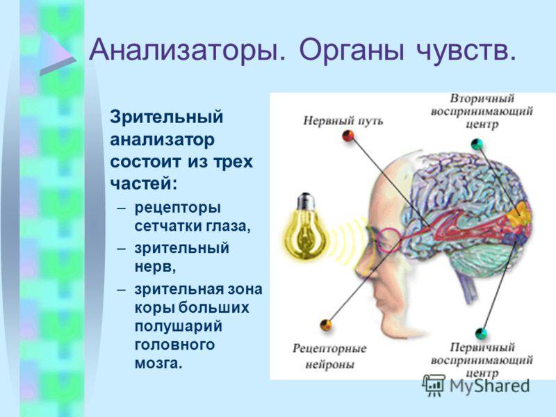 Анализаторы. Органы чувств. Зрительный анализатор состоит из трех частей: –рецепторы сетчатки глаза, –зрительный нерв, –зрительная зона коры больших полушарий головного мозга.