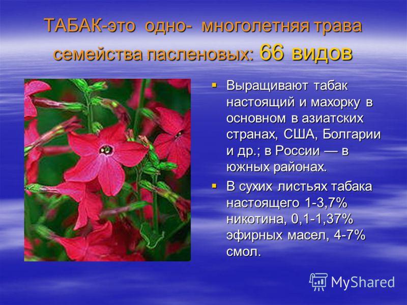 ТАБАК-это одно- многолетняя трава семейства пасленовых: 66 видов Выращивают табак настоящий и махорку в основном в азиатских странах, США, Болгарии и др.; в России в южных районах. Выращивают табак настоящий и махорку в основном в азиатских странах,