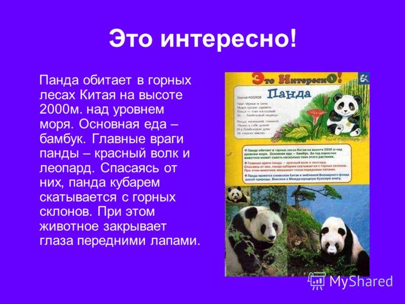 Это интересно! Панда обитает в горных лесах Китая на высоте 2000м. над уровнем моря. Основная еда – бамбук. Главные враги панды – красный волк и леопард. Спасаясь от них, панда кубарем скатывается с горных склонов. При этом животное закрывает глаза п