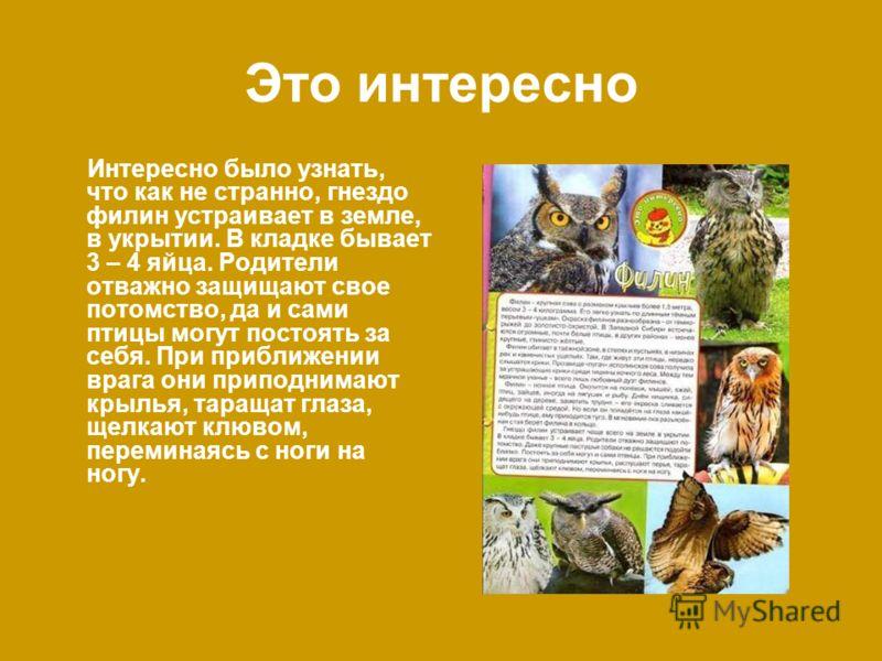 Это интересно Интересно было узнать, что как не странно, гнездо филин устраивает в земле, в укрытии. В кладке бывает 3 – 4 яйца. Родители отважно защищают свое потомство, да и сами птицы могут постоять за себя. При приближении врага они приподнимают