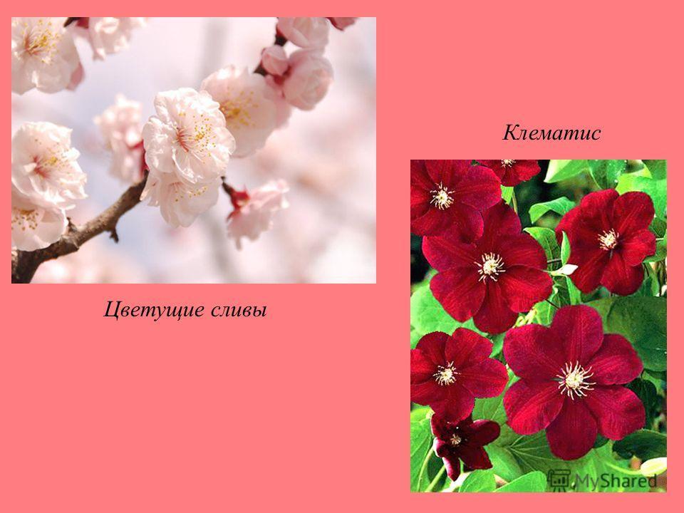 Цветущие сливы Клематис