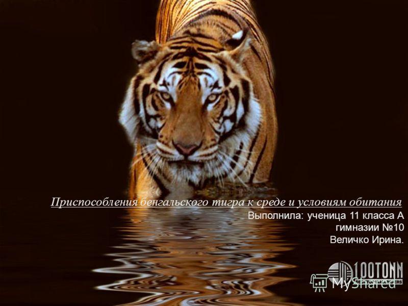 Приспособления бенгальского тигра к среде и условиям обитания Выполнила: ученица 11 класса А гимназии 10 Величко Ирина.