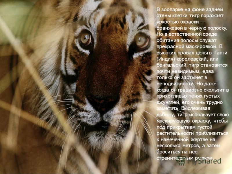 Бенгальский тигр рисунок 2
