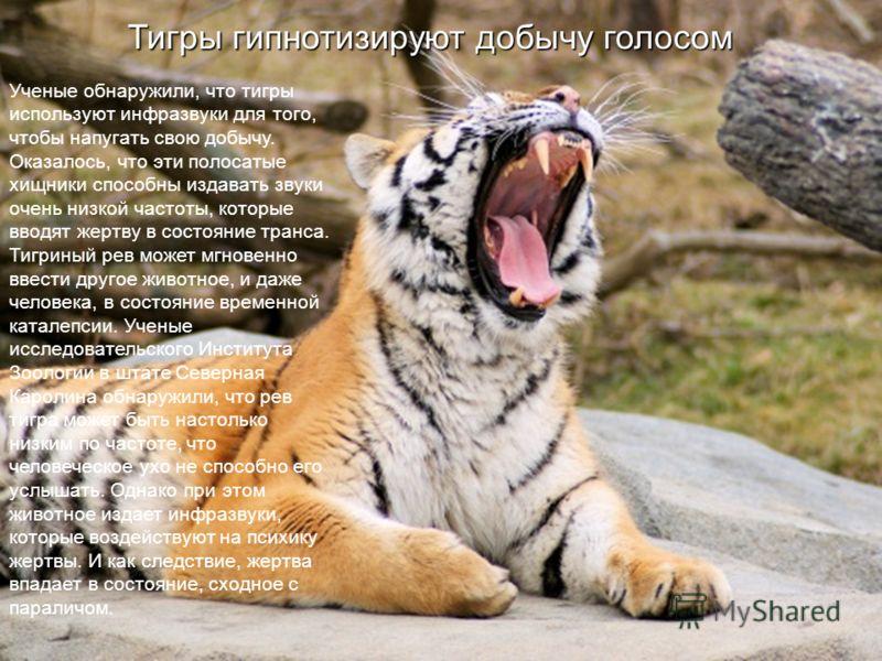 Тигры гипнотизируют добычу голосом Ученые обнаружили, что тигры используют инфразвуки для того, чтобы напугать свою добычу. Оказалось, что эти полосатые хищники способны издавать звуки очень низкой частоты, которые вводят жертву в состояние транса. Т