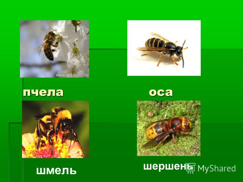 пчела оса шмель шершень