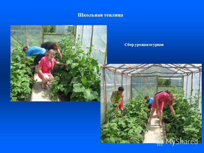 Школьная теплица Сбор урожая огурцов
