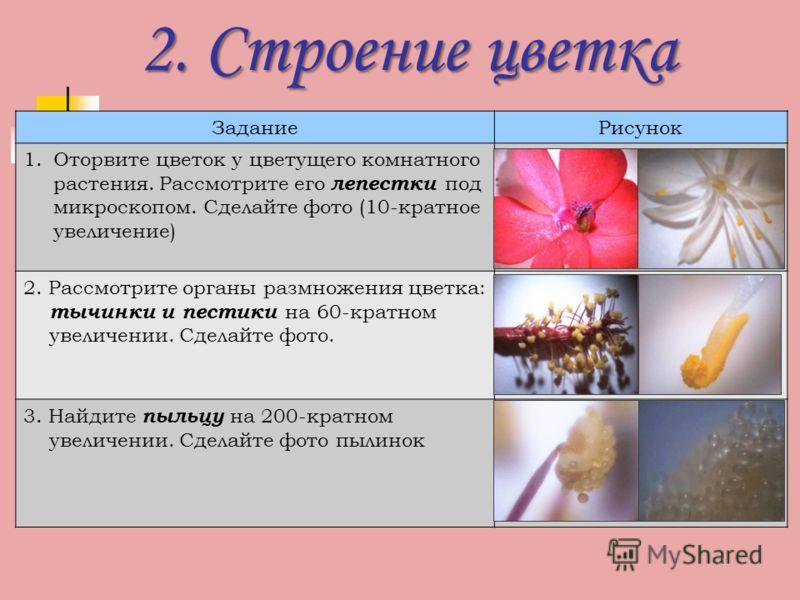 2. Строение цветка ЗаданиеРисунок 1.Оторвите цветок у цветущего комнатного растения. Рассмотрите его лепестки под микроскопом. Сделайте фото (10-кратное увеличение) 2. Рассмотрите органы размножения цветка: тычинки и пестики на 60-кратном увеличении.
