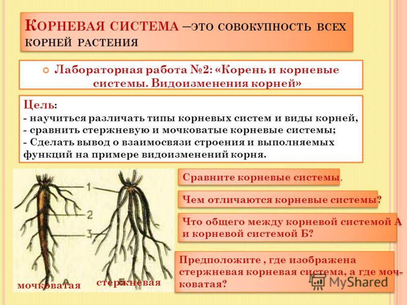 К ОРНЕВАЯ СИСТЕМА – ЭТО СОВОКУПНОСТЬ ВСЕХ КОРНЕЙ РАСТЕНИЯ Лабораторная работа 2: «Корень и корневые системы. Видоизменения корней» Цель : - научиться различать типы корневых систем и виды корней, - сравнить стержневую и мочковатые корневые системы; -
