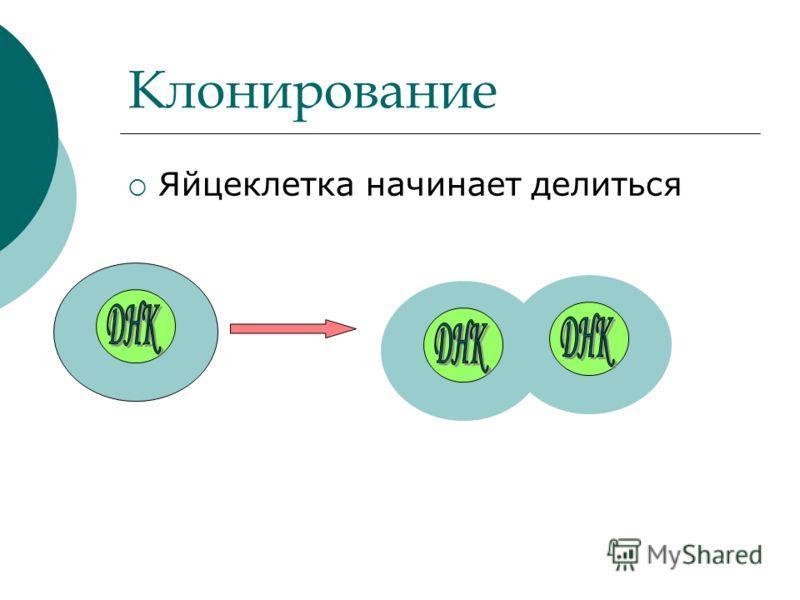 Клонирование Яйцеклетка начинает делиться