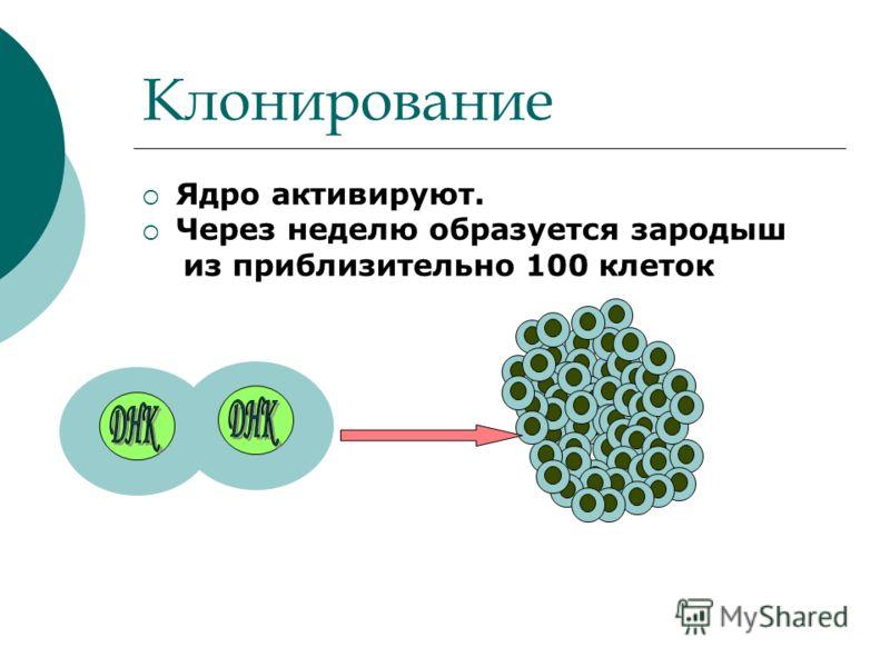 Клонирование Ядро активируют. Через неделю образуется зародыш из приблизительно 100 клеток