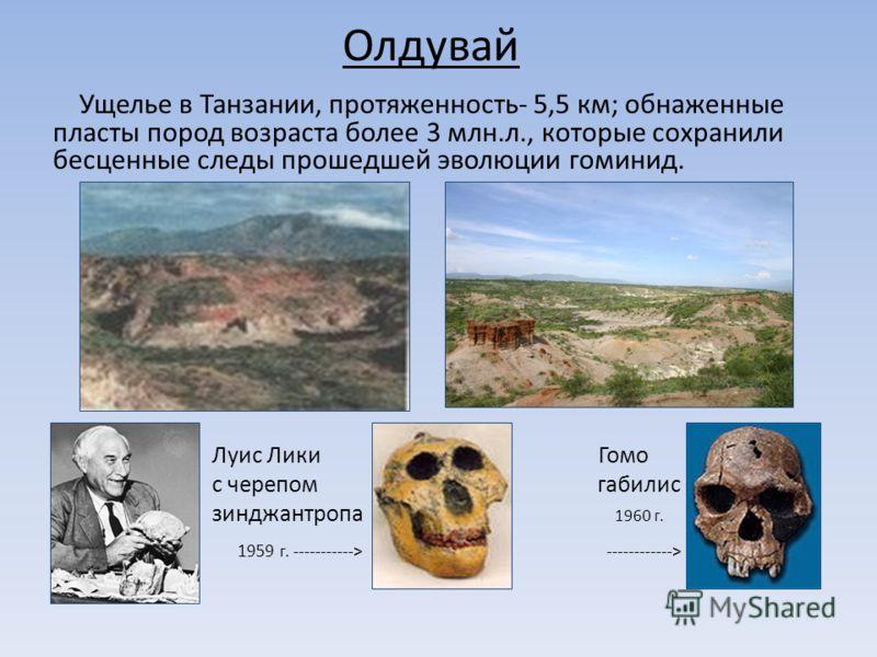 Олдувай Ущелье в Танзании, протяженность- 5,5 км; обнаженные пласты пород возраста более 3 млн.л., которые сохранили бесценные следы прошедшей эволюции гоминид. Луис Лики Гомо с черепом габилис зинджантропа 1960 г. зи 1959 г. -----------> -----------
