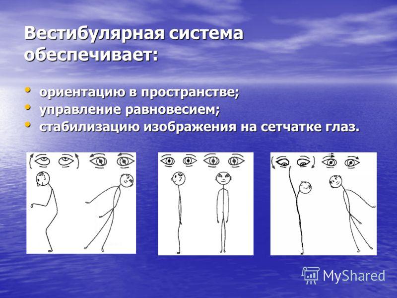 Вестибулярная система обеспечивает: ориентацию в пространстве; ориентацию в пространстве; управление равновесием; управление равновесием; стабилизацию изображения на сетчатке глаз. стабилизацию изображения на сетчатке глаз.