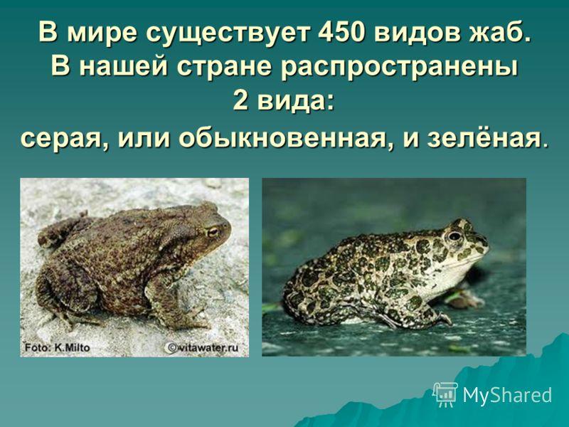 В мире существует 450 видов жаб. В нашей стране распространены 2 вида: серая, или обыкновенная, и зелёная.