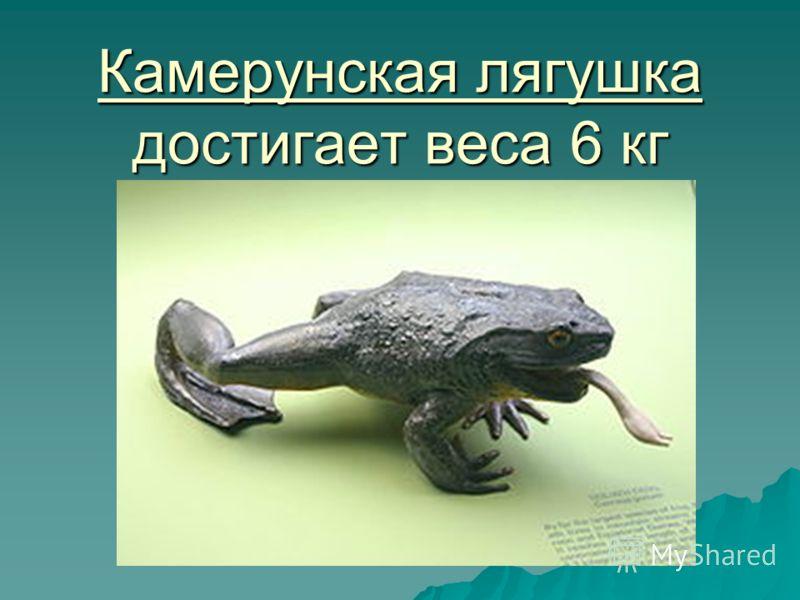 Камерунская лягушка достигает веса 6 кг