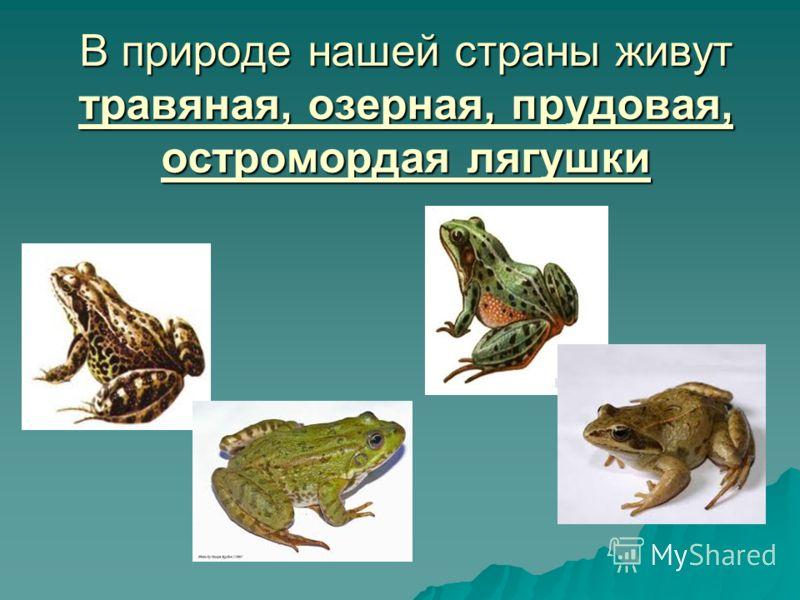 В природе нашей страны живут травяная, озерная, прудовая, остромордая лягушки