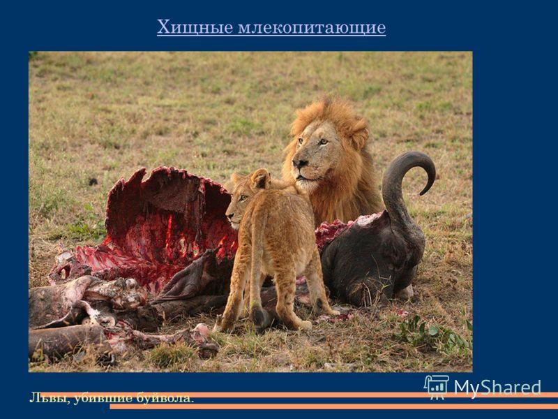 Львы, убившие буйвола. Хищные млекопитающие