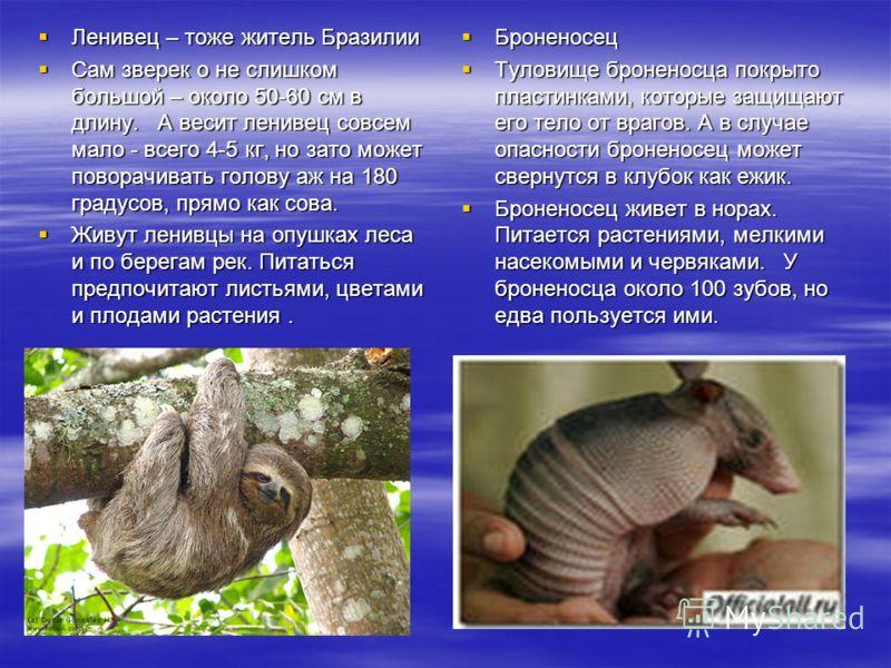 Ленивец – тоже житель Бразилии Ленивец – тоже житель Бразилии Сам зверек о не слишком большой – около 50-60 см в длину. А весит ленивец совсем мало - всего 4-5 кг, но зато может поворачивать голову аж на 180 градусов, прямо как сова. Сам зверек о не