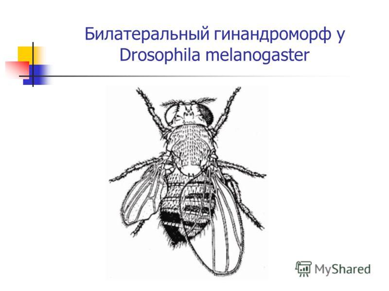 Билатеральный гинандроморф у Drosophila melanogaster