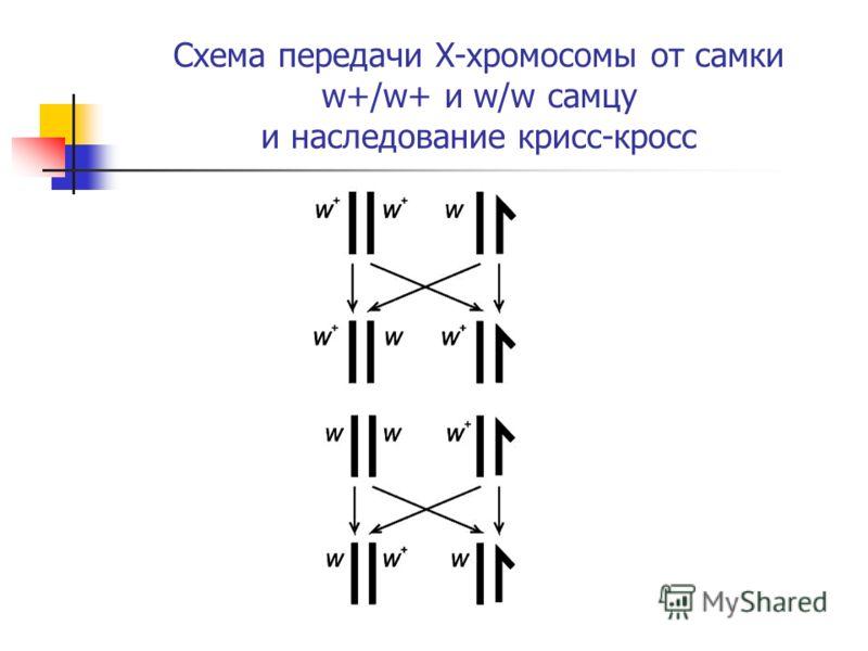 Схема передачи X-хромосомы от самки w+/w+ и w/w самцу и наследование крисс-кросс