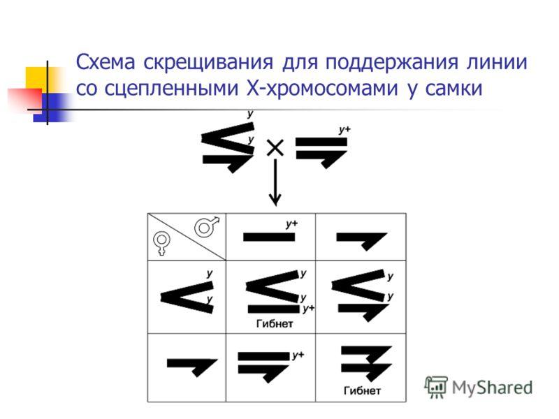 Схема скрещивания для поддержания линии со сцепленными X-хромосомами у самки