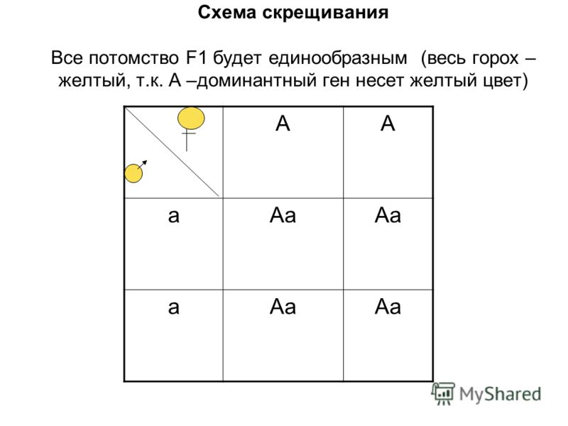 Схема скрещивания Все потомство F1 будет единообразным (весь горох – желтый, т.к. А –доминантный ген несет желтый цвет) АА аАа а