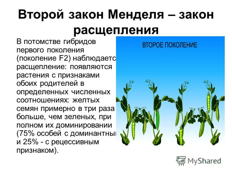 Второй закон Менделя – закон расщепления В потомстве гибридов первого поколения (поколение F2) наблюдается расщепление: появляются растения с признаками обоих родителей в определенных численных соотношениях: желтых семян примерно в три раза больше, ч
