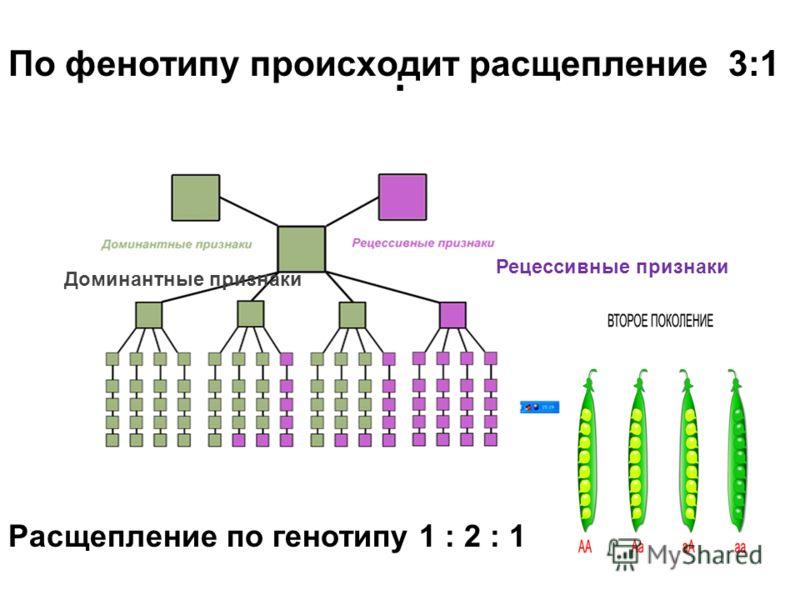 . Рецессивные признаки Доминантные признаки По фенотипу происходит расщепление 3:1 Расщепление по генотипу 1 : 2 : 1