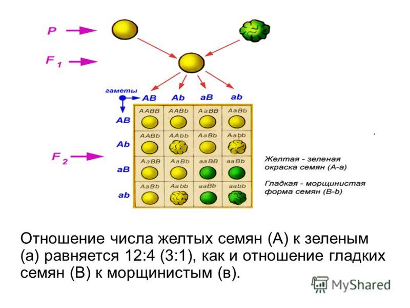 Отношение числа желтых семян (А) к зеленым (а) равняется 12:4 (3:1), как и отношение гладких семян (В) к морщинистым (в).