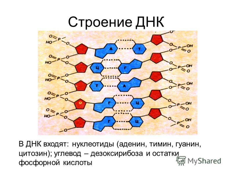 Строение ДНК В ДНК входят: нуклеотиды (аденин, тимин, гуанин, цитозин); углевод – дезоксирибоза и остатки фосфорной кислоты