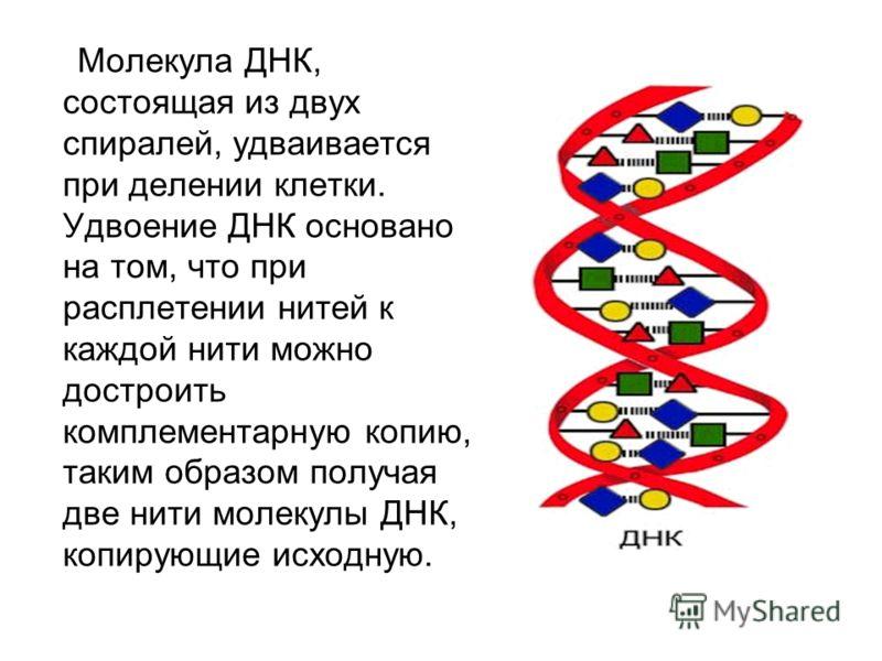 Молекула ДНК, состоящая из двух спиралей, удваивается при делении клетки. Удвоение ДНК основано на том, что при расплетении нитей к каждой нити можно достроить комплементарную копию, таким образом получая две нити молекулы ДНК, копирующие исходную.