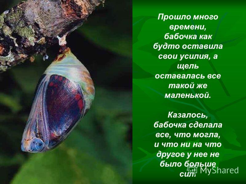 Урок бабочки Однажды в коконе появилась маленькая щель, случайно проходивший человек долгие часы стоял и наблюдал, как через эту маленькую щель пытается выйти бабочка.