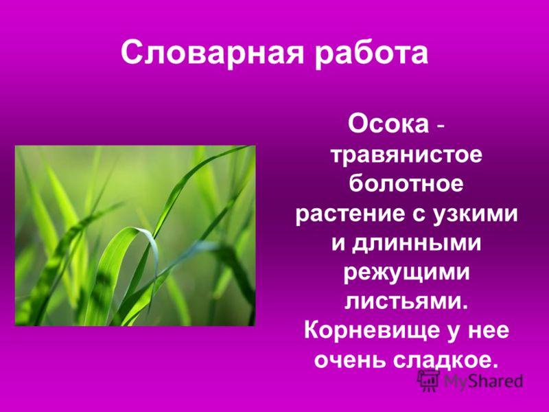 Словарная работа Осока - травянистое болотное растение с узкими и длинными режущими листьями. Корневище у нее очень сладкое.