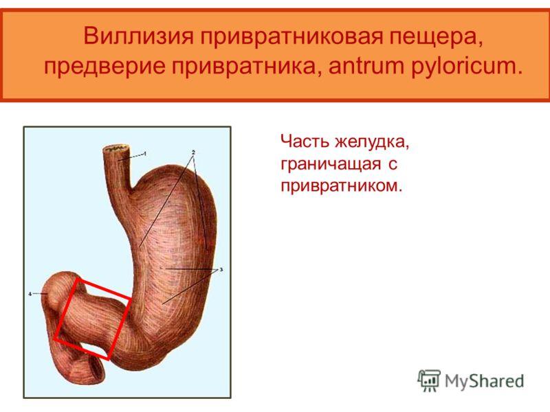 Виллизия привратниковая пещера, предверие привратника, antrum pyloricum. Часть желудка, граничащая с привратником.