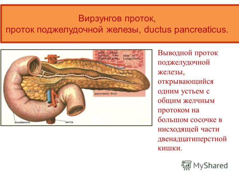 Выводной проток поджелудочной железы, открывающийся одним устьем с общим желчным протоком на большом сосочке в нисходящей части двенадцатиперстной кишки. Вирзунгов проток, проток поджелудочной железы, ductus pancreaticus.