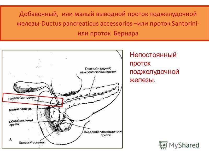 Добавочный, или малый выводной проток поджелудочной железы-Ductus pancreaticus accessories –или проток Santorini- или проток Бернара Непостоянный проток поджелудочной железы.